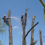 Кронирование деревьев 🏆 в Москве заказать на дом недорого - Фото 5